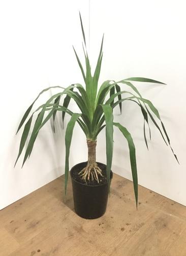 観葉植物 【90cm】ドラセナ ドラコ 7号 根上り #22013