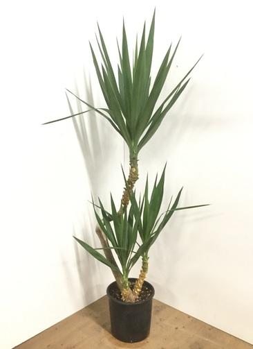 観葉植物 【150cm】ユッカ 8号 斑入り #22015