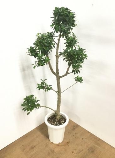 観葉植物 【130cm】フィカス ナナ 8号 玉チラシ #22016