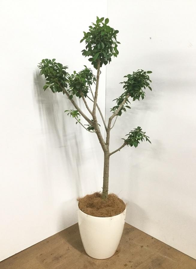 観葉植物 【130cm】【鉢カバー付】フィカス ナナ 8号 玉チラシ #22017