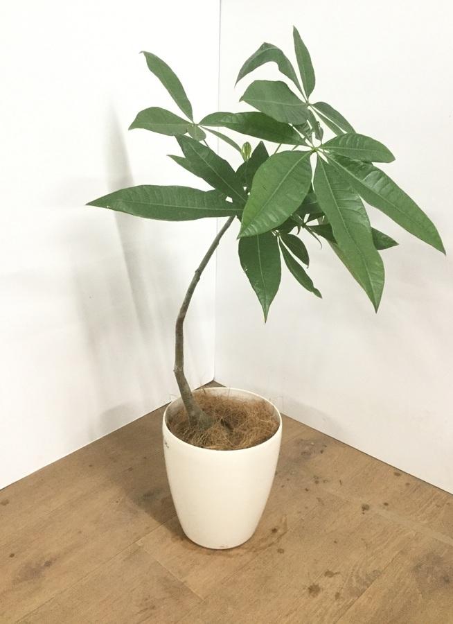 観葉植物 【75cm】【鉢カバー付】パキラ 5号 曲り #22018