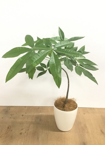 観葉植物 【70cm】【鉢カバー付】パキラ 5号 曲り #22019