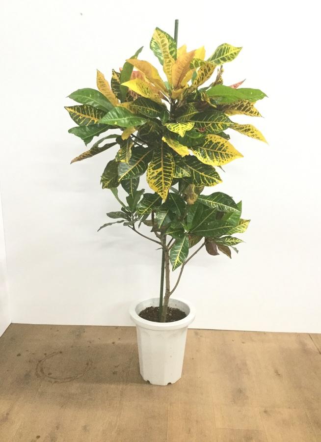 観葉植物 【120cm】クロトン  8号 #22021
