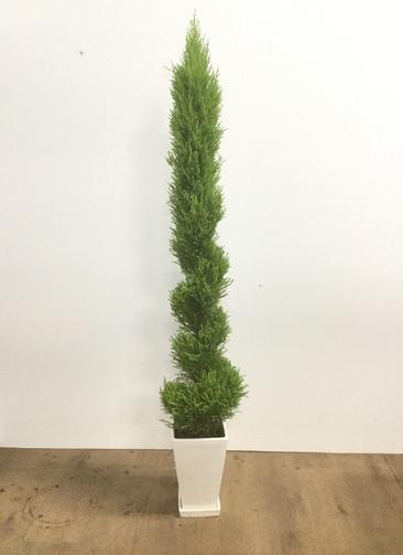観葉植物 【130cm】ゴールドクレスト ウィルマ 7号 らせん仕立て 角鉢  #22022