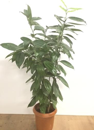 観葉植物 【120cm】シナモンの木(セイロンニッケイ)8号 #22023