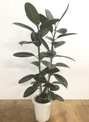 観葉植物 【120cm】フィカス エラスティカ (ゴムの木) ロブスター 8号 #22024