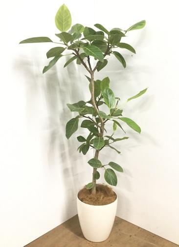 観葉植物 【145cm】【鉢カバー付】フィカス アルテシーマ 8号 #22026