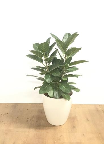 観葉植物 【90cm】【鉢カバー付】フィカス ベンガレンシス 8号 オードリー #22027