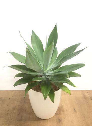 観葉植物 【75cm】【鉢カバー付】アガベ アテナータ 8号 #22028