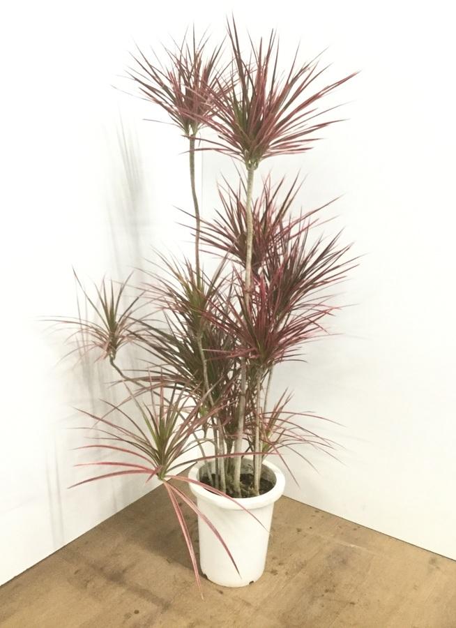 観葉植物 【130cm】ドラセナ コンシンネ スカーレットアイビス 8号 朴タイプ #22030