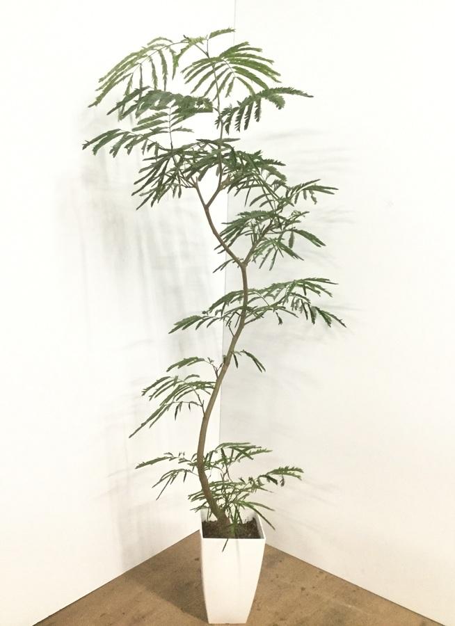 観葉植物 【165cm】エバーフレッシュ 8号 曲り 角鉢 #22031
