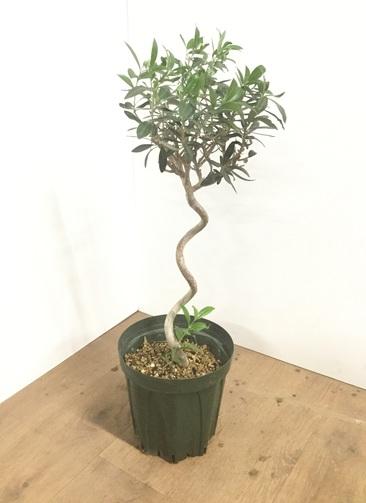 観葉植物 【70cm】オリーブの木 7号 らせん仕立て #22034