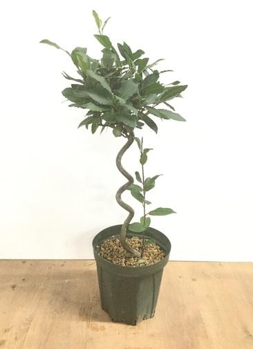 観葉植物 月桂樹 7号 らせん仕立て #22035