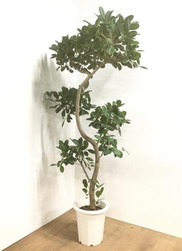 観葉植物 【185cm】フィカス ジャンボリーフ 10号 曲り #22040 ※1都3県配送限定商品