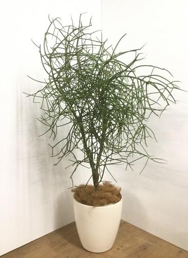 観葉植物 【155cm】【鉢カバー付】ミルクブッシュ 10号 #22042