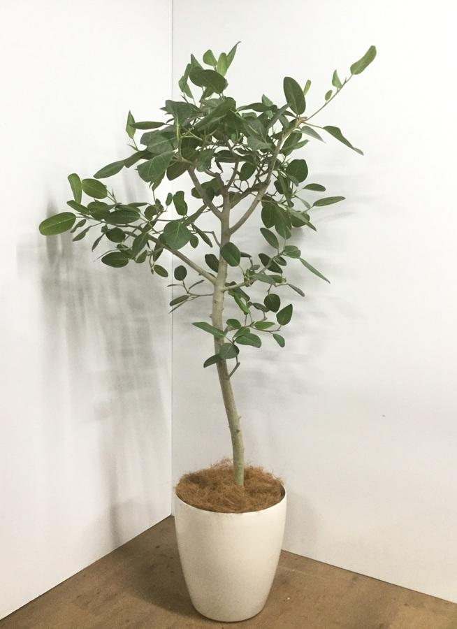 観葉植物 【175cm】【鉢カバー付】フィカス ベンガレンシス 10号 #22047