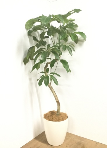 観葉植物 【175cm】【鉢カバー付】ブラッサイア 10号 曲り #22054