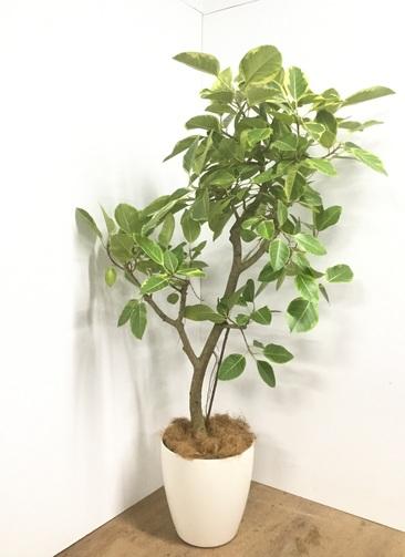 観葉植物 【170cm】【鉢カバー付】フィカス アルテシーマ 10号 #22055