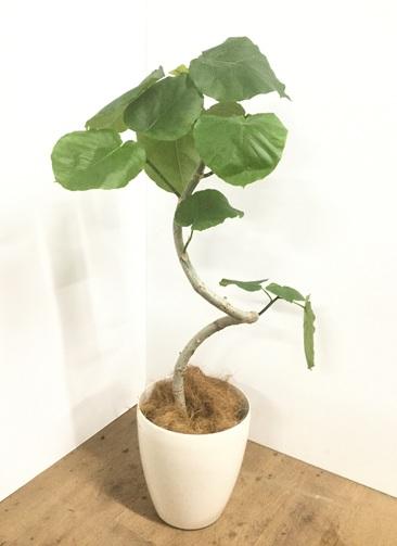 観葉植物 【100cm】【鉢カバー付】フィカス ウンベラータ 7号 らせん仕立て #22058