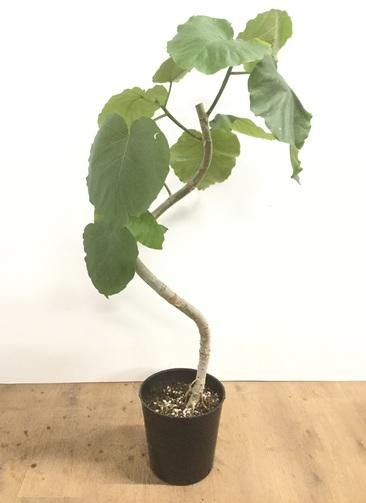 観葉植物 【100cm】フィカス ウンベラータ 7号 らせん仕立て  #22060
