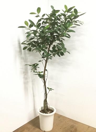 観葉植物 【175cm】ブラッサイア 8号 #22061