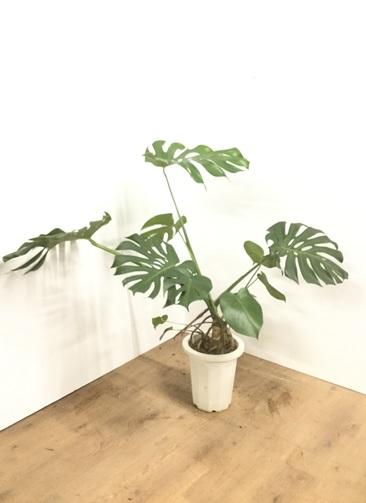 観葉植物 【100cm】モンステラ 8号 根上り #22062