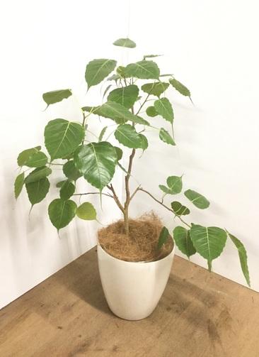 観葉植物 【100cm】【鉢カバー付】インドボダイジュ(フィカス・レリジオーサ) 8号 #22063