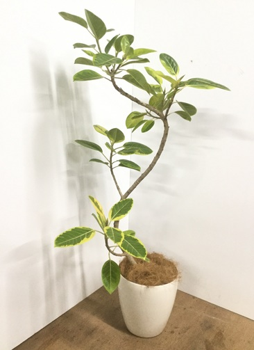 観葉植物 【140cm】【鉢カバー付】フィカス アルテシーマ 8号 曲り #22064