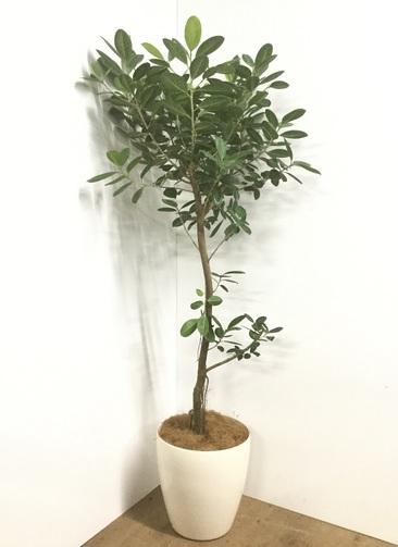 観葉植物 【175cm】【鉢カバー付】フィカス ジャンボリーフ 9号 #22065