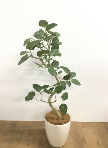 観葉植物 【100cm】【鉢カバー付】フィカス ベンガレンシス 6号 曲り #22066