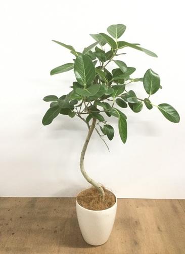 観葉植物 【115cm】【鉢カバー付】フィカス ベンガレンシス 6号 曲り #22068