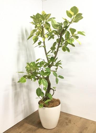 観葉植物 【175cm】【鉢カバー付】フィカス アルテシーマ 10号 #22080