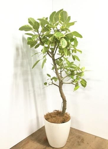 観葉植物 【170cm】【鉢カバー付】フィカス アルテシーマ #22081