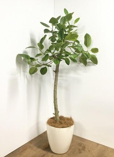 観葉植物 【175cm】【鉢カバー付】フィカス アルテシーマ 10号 ストレート #22082