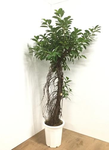 観葉植物 【175cm】ガジュマル 10号 #22084