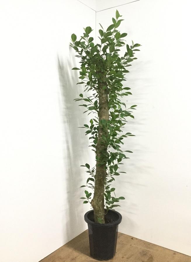 観葉植物 【175cm】ガジュマル 10号 朴タイプ #22085