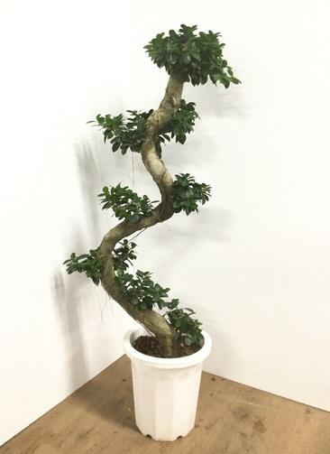 観葉植物 【140cm】ガジュマル 10号 曲り #22086