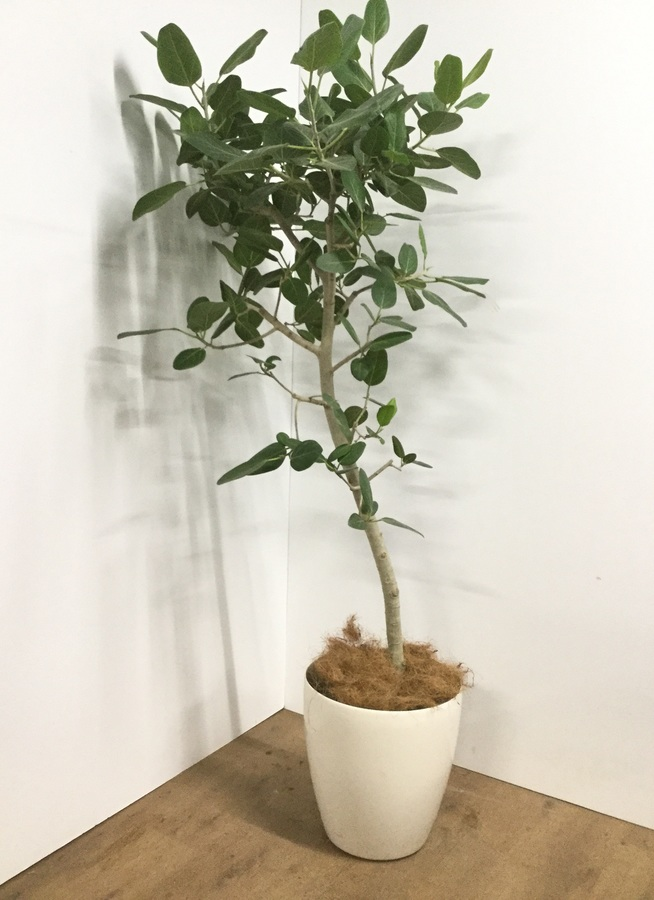 観葉植物 【175cm】【鉢カバー付】フィカス ベンガレンシス 10号 #22089