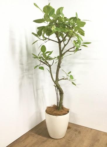 観葉植物 【175cm】【鉢カバー付】フィカス アルテシーマ 10号 #22091