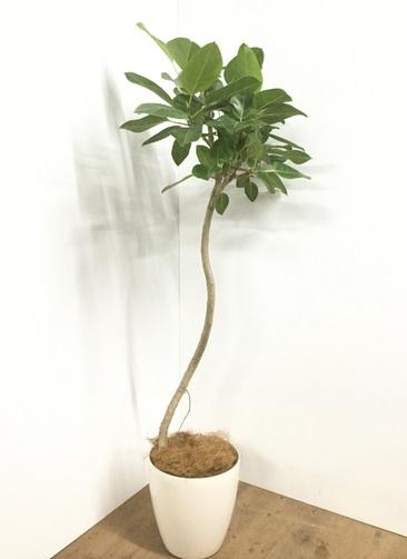 観葉植物 【150cm】【鉢カバー付】フィカス ベンガレンシス 8号 曲り #22092
