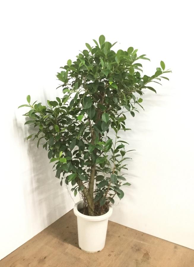 観葉植物 【130cm】ガジュマルの木 8号 #22095