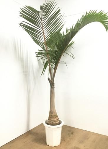 観葉植物 【200cm】トックリヤシ 10号 #22097 ※1都3県配送限定商品