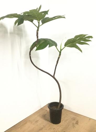 観葉植物 【160cm】パンの木 8号 曲り #22101