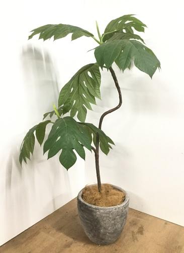観葉植物 【150cm】【鉢カバー付】パンの木 8号 曲り #22104