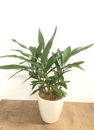 観葉植物 【100cm】【鉢カバー付】月桃(げっとう)の木 8号 #22105