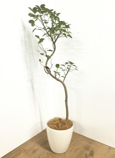 観葉植物 【150cm】【鉢カバー付】フランスゴムの木 8号 曲り #22107