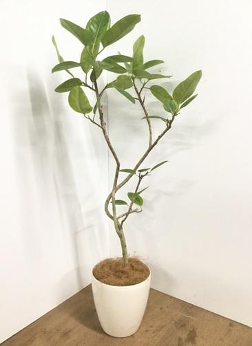 観葉植物 【150cm】【鉢カバー付】フィカス アルテシーマ 8号 曲り #22108
