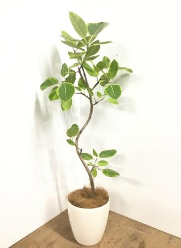 観葉植物 【150cm】【鉢カバー付】フィカス アルテシーマ 8号 曲り #22109