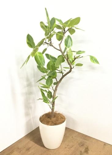 観葉植物 【130cm】【鉢カバー付】フィカス アルテシーマ 8号 曲り #22110