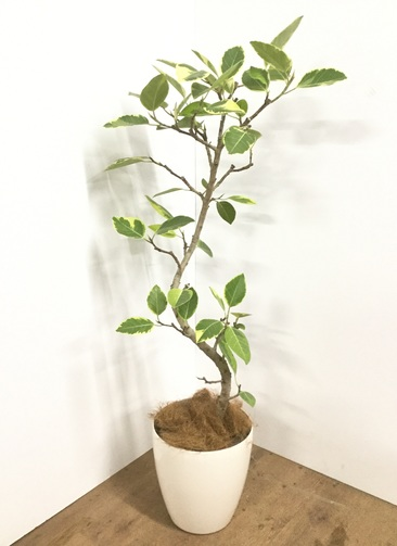 観葉植物 【140cm】【鉢カバー付】フィカス アルテシーマ 8号 曲り #22111